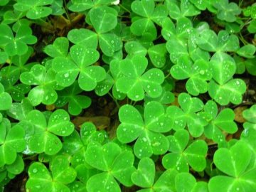 A field of clovers