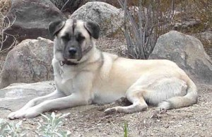 Photo Credit: Sirswindon / Wikipedia CC BY-SA 3.0) Cropped) This is also not Lady, and is actually an Anatolian Shepherd, but the characteristics are very similar to how she looked in old age.
