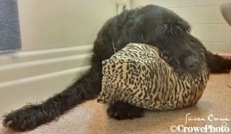 Muttley with pillow